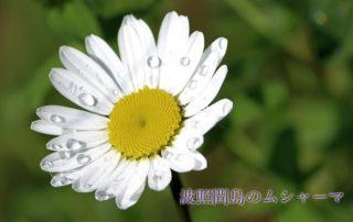daisy-1275402_640_加工