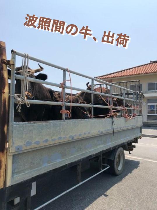 波照間の牛、出荷